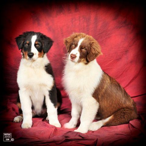 Begin september 2011 zijn de puppen uit het eerste nest van Sally 4 maanden (hier dus Keb-Mo en Jess-Lyn)