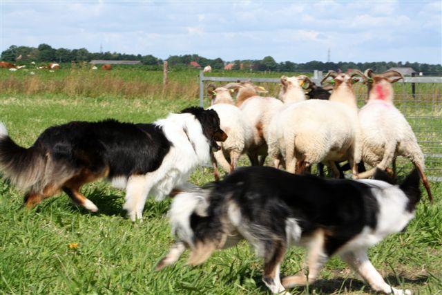 Keb-Mo met Roshin (border collie) achter de schapen
