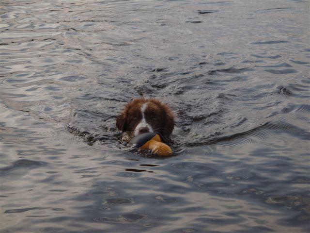 Met 12 weken apporteerde ik spontaan zwemmend(voor het eerst)een speeltje uit het water!