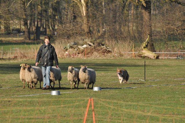 Onderlinge wedstrijd schapendrijven in begin 2011